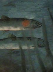 Salar der Lachs