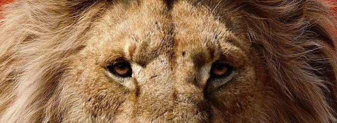 """""""König der Löwen"""" castet weiter - und hat seinen Scar gefunden?"""